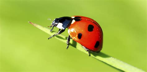 How to Deal with Ladybug Infestation   Today's Homeowner