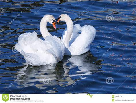 lovely white lovely white swan couple mating stock image image of