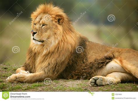 imagenes leones selva retrato animal masculino salvaje del le 243 n hermoso foto de