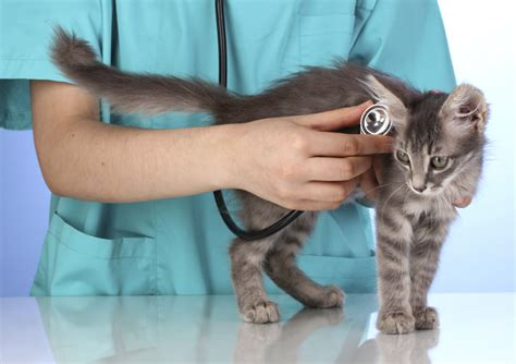 what to expect during your kitten s first vet visit petcha
