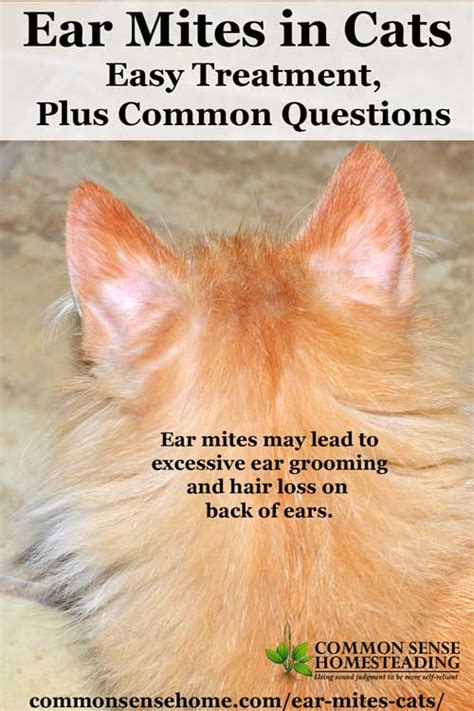 Ear Mites in Cats   Easy Treatment, Plus Common Questions