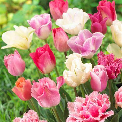 Seprei Tulip Pink 3 Uk 160x200 tulip bulbs pink collection dobies