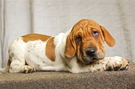 basset hound mix puppies these 25 cross breed dogs will make you fall in with mutts bored panda