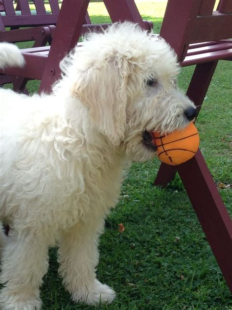 goldendoodle puppy uk goldendoodle dogs for sale uk breeds picture