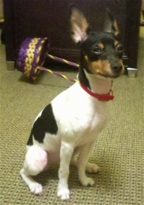 The Beagle Barn Rat Terrier Dog Breed Information And Pictures