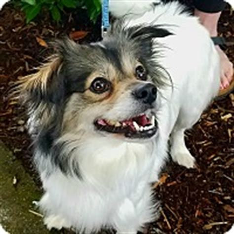 pomeranian rescue washington state seattle wa papillon pomeranian mix meet quot quot a for adoption