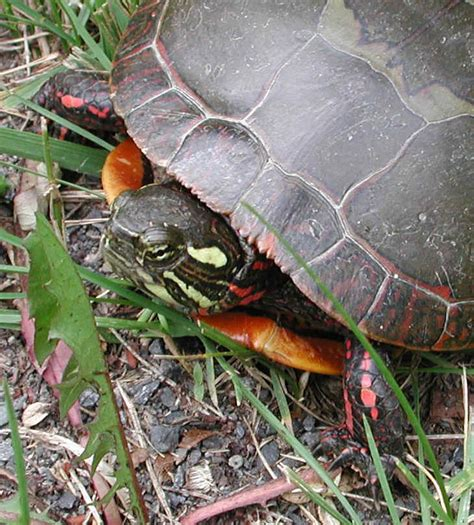 Do Painted Turtles Shed by Found A Turtle What Type Is It Yahoo Answers