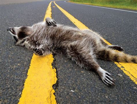 Road Kill by Roadkill App Tracks Animal Deaths In Car Collisions New