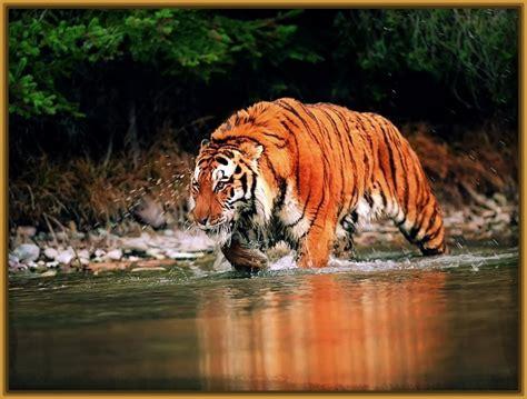 imagenes fondo de pantalla tigre imagenes de tigres de bengala para fondo de pantalla