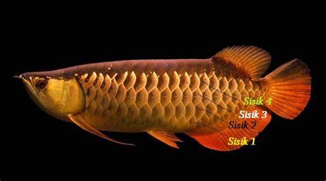 Harga Bibit Arwana Golden kisaran harga ikan arwana golden atau golden