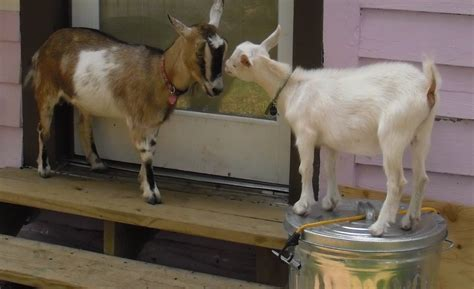 backyard goats adventures in backyard agriculture dwarf goats southern