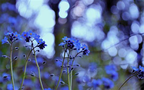wallpaper flower tumblr blue beautiful blue forget me not flower blue wallpaper