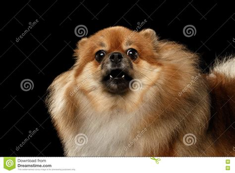 angry pomeranian closeup barking pomeranian spitz black isolated background stock photo
