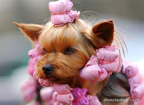Yorkshire-Terrier-22.jpg