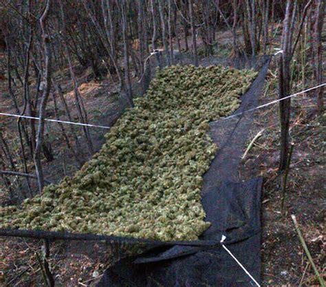 visiting   gross marijuana grow