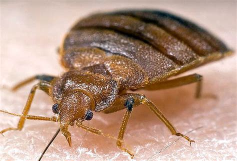 how big do bed bugs get don t let the bed bugs bite preparedness pro