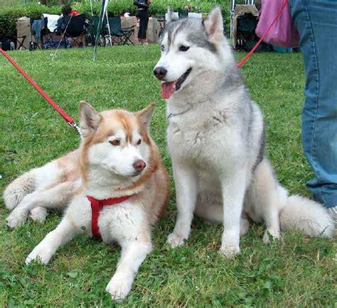 husky con occhi diversi razze cani siberian husky