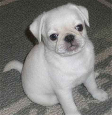 marshmellow the white pug puppy white pug dogs on white pug puppys and pug