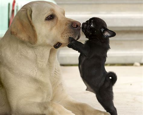 pug x labrador 17 best images about pugs animal friends on chihuahuas guinea pigs and
