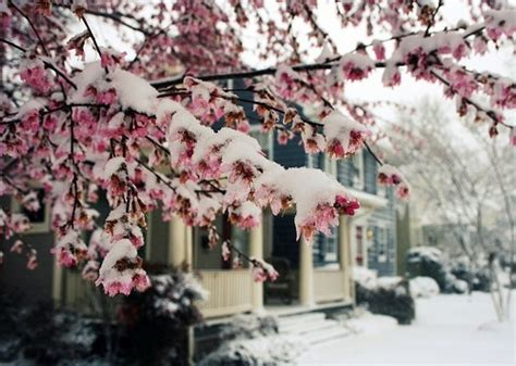 blossoms house pink snow image 132130 on favim