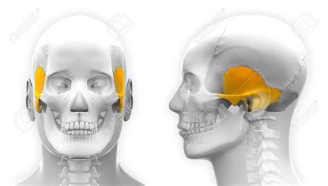 imagenes de huesos temporales josevictoror huesos del cr 225 neo