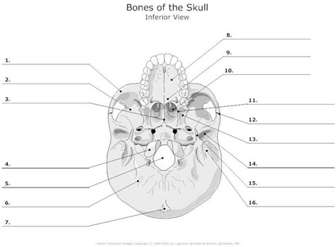 skull parts diagram inferior view of the bones of the skull unlabeled exle