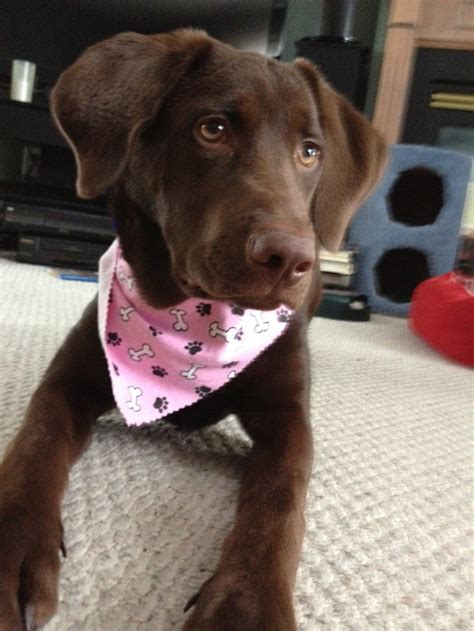 chocolate lab x golden retriever 17 best images about golden retriever labrador retriever mix on lab
