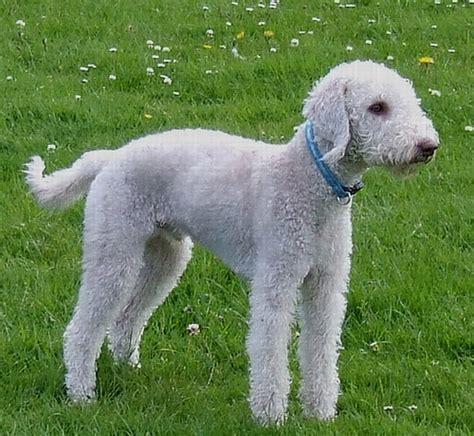 bedlington terrier puppies bedlington terrier puppies rescue pictures information temperament