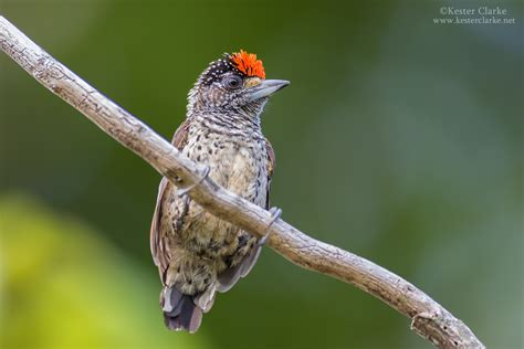 Aster Choco white bellied piculet kester clarke wildlife photography