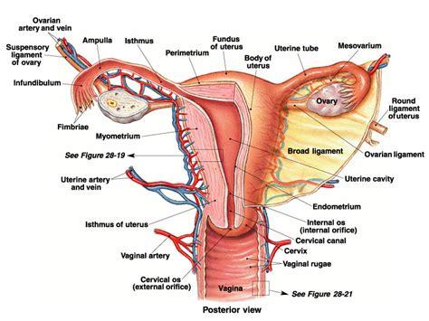 diagram of reproductive organs reproductive system