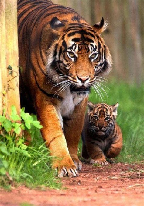 baby tiger with big tiger with images 310 best tigers images on big cats