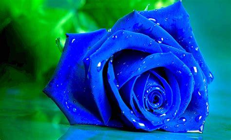 wallpaper mawar biru water drops roses astonishing wallpapers hd