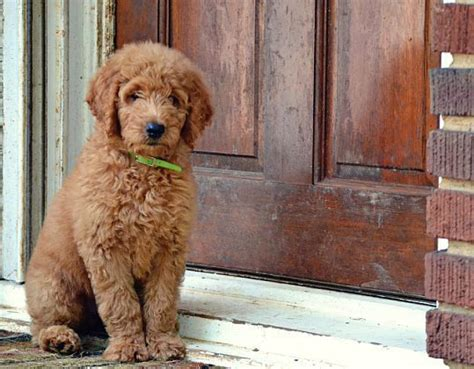 goldendoodle puppy jumping new owner advice for goldendoodle puppies