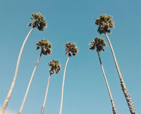 California Palm wallpaper of the week california palm trees