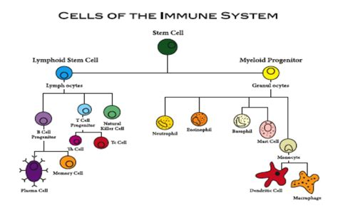 diagram of the immune system vitamin c and immune function prp