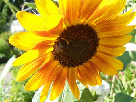 Sun Flower Overall 1 sunflower helianthus annuus
