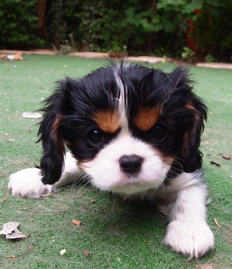 st charles cavalier puppy beautiful cavalier king charles spaniel puppy st neots cambridgeshire pets4homes