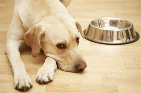 why do dogs their why do dogs move their food bowls cuteness