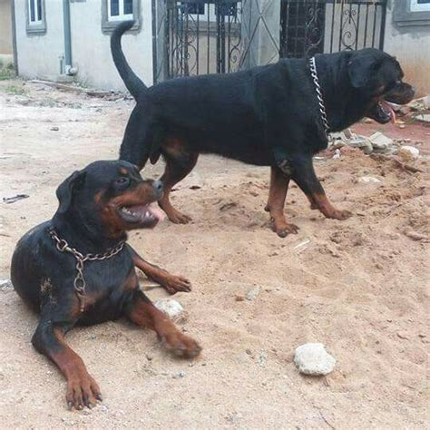 boerboel vs rottweiler rottweiler mix boerboel dogs in our photo
