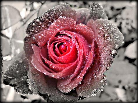 imagenes de flores goticas soledad gotica la vida es una rosa congelada