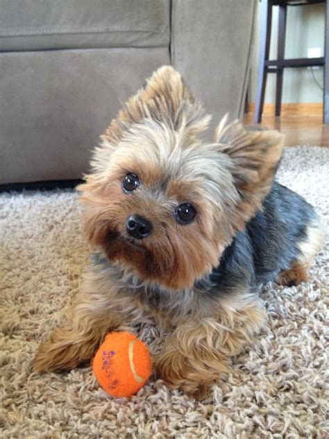 stunning yorkie hair cuts aww my heart just melt every time i see a picture like