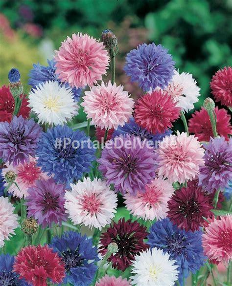 fiore fiordaliso scheda botanica centaurea cyanus centaurea fiordaliso ca