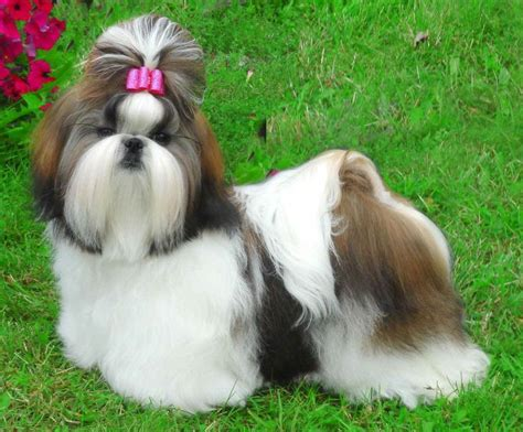 shih tzu not feeling well 134 best images about shih tzu on show westminster show and image