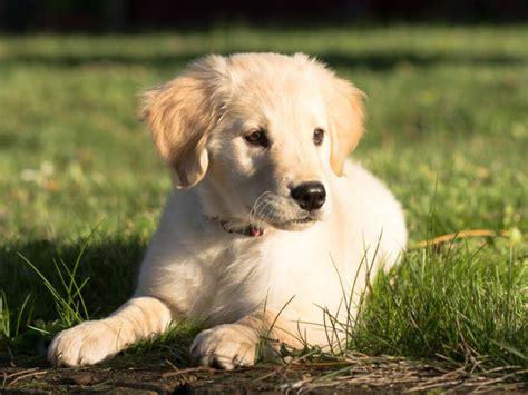 hund golden retriever erziehungstipps f 252 r den golden retriever
