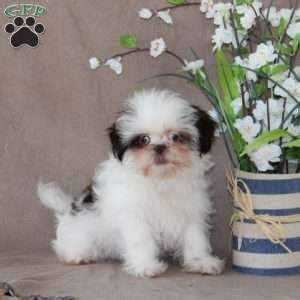 chocolate shih tzu for sale in pa shih tzu puppies for sale in de md ny nj philly dc and baltimore