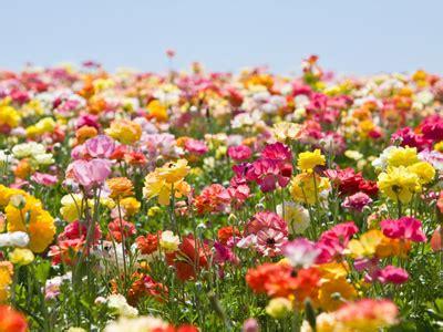 foto fiori coloratissimi festa dei fiori 2014 dal 26 al 28 settembre 2014