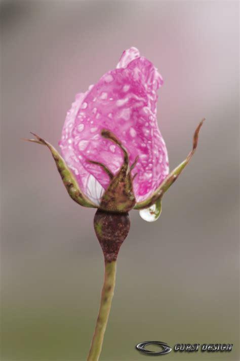 imagenes rosas con espinas tatuaje rosario 6211jpg