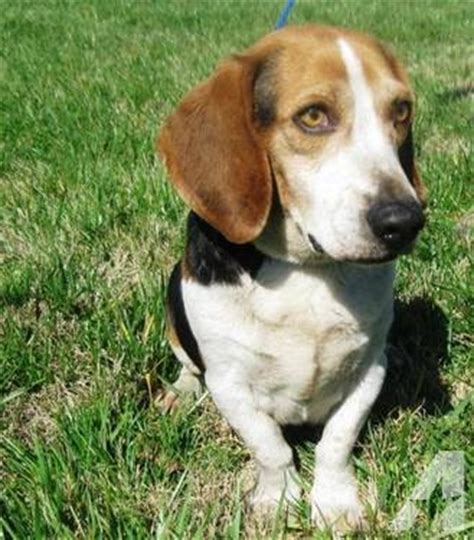 beagle puppy howling beagle howl medium for sale in fort payne alabama classified