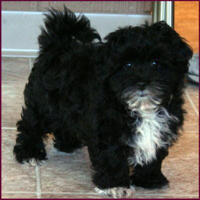 black maltese puppies maltipoo maltepoo maltese poodle puppies for sale iowa