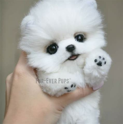 boutique puppies teacup puppies for sale at teacups puppies and boutique upcomingcarshq